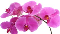 Valentine's Day Orchids & Plants
