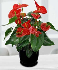 Send a hardy Anthurium plant in our ceramic planter