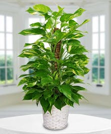 An easy to care for, fast growing lush green plant
