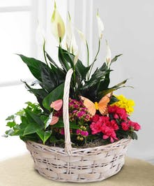 Spoil someone special with a bountiful basket of green & blooming plants