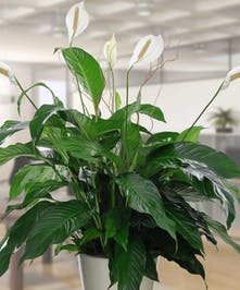 Enjoy this large peace lily.