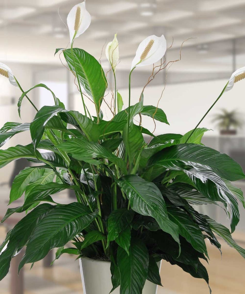 Large commercial peace lily flowering plants beneva flowers enjoy this large peace lily izmirmasajfo