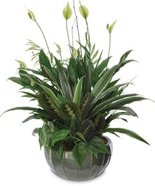 Peaceful, calm and elegant, this green peace lily plant will add serenity to any room.