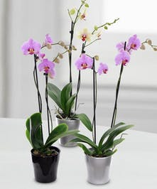 These beautiful orchids are a perfect accent to any home or office.