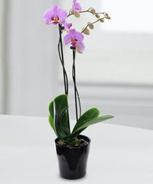 This beautiful orchids are a perfect accent to any home or office.