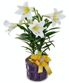 Easter lily plants are amongst the most popular selections throughout spring.