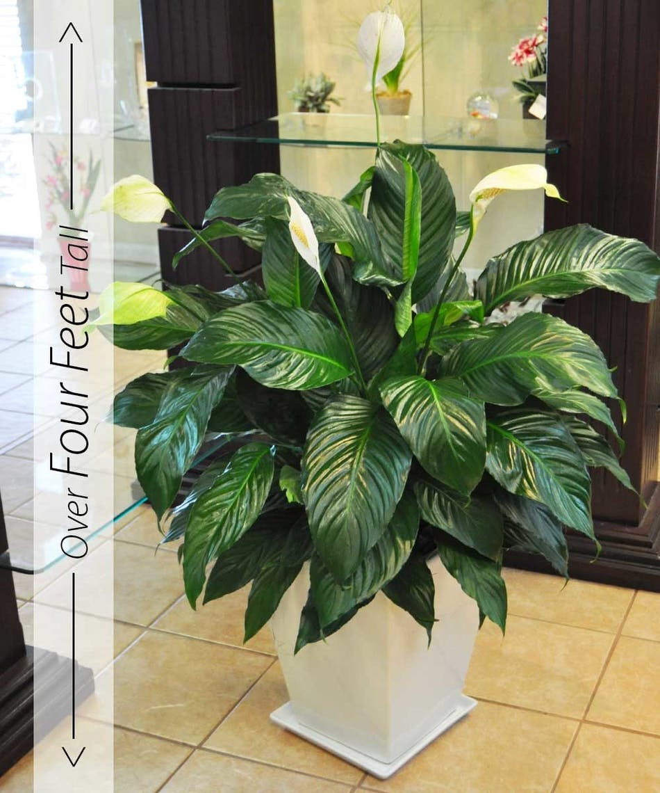 Peace Lily Large Plants Peace Lily Potted Plant Beneva