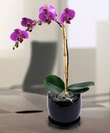This lovely orchid plant will last for years to come, and is easy to care for.