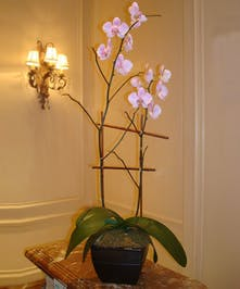 This gorgeous, elegant and easy-to-care-for Phalaeonopsis Orchid plant is an appropriate gift for any occasion.