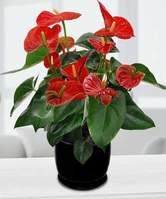 Anthurium in Ceramic / Wicker