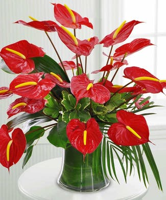 Royal Anthuriums