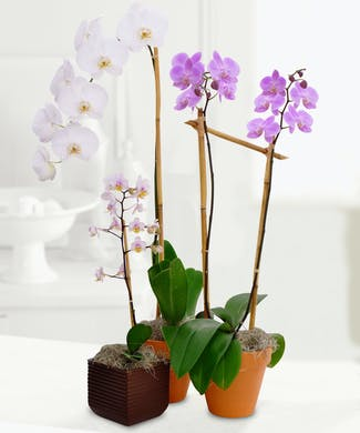 Blooming Orchids for Mom