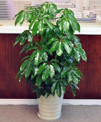 Shefflera Plant
