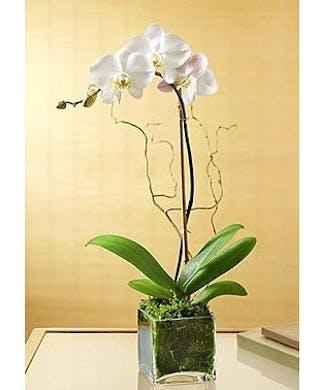 Ella Orchid Planter