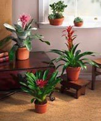 Tropical Blooming Bromeliad Plant