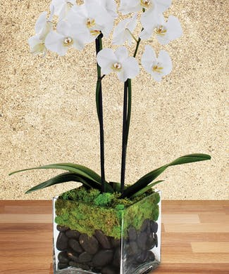 Twin Orchid Plant